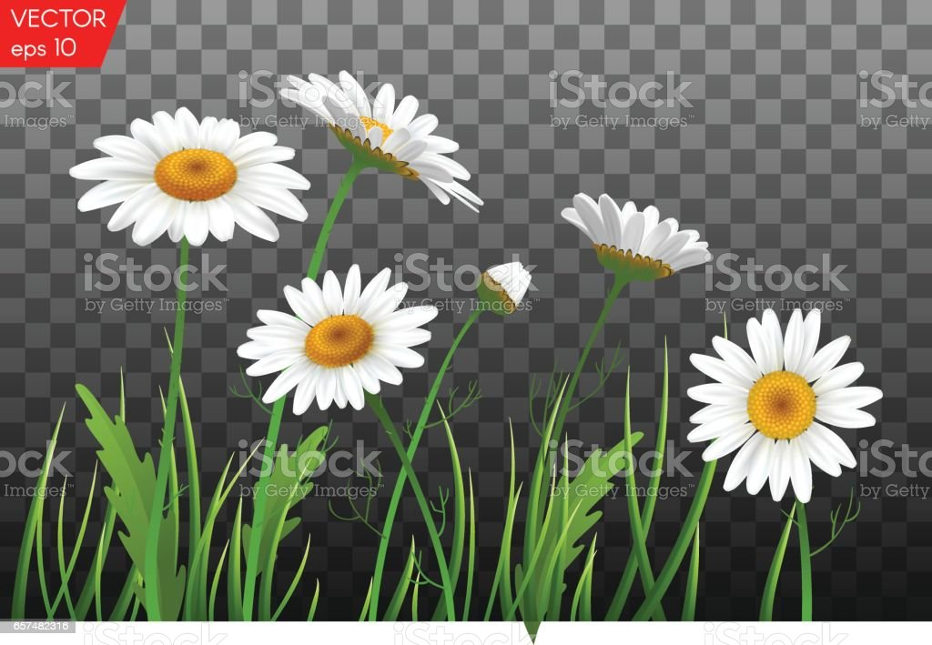 Summer meadow with realistic daisy, camomile flowers on transparent background. Vector illustration vector art illustration
