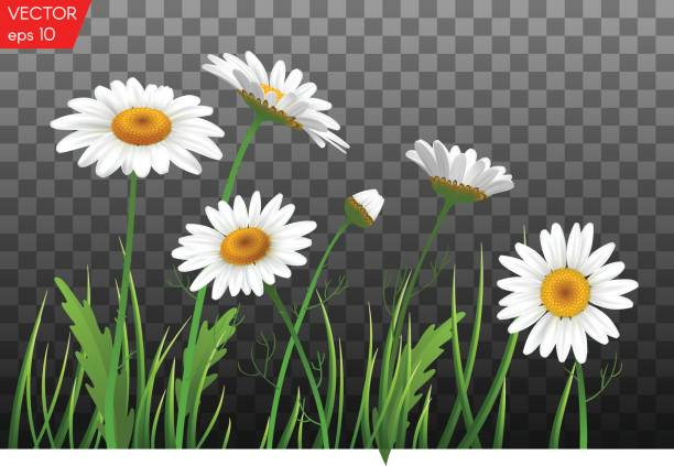 Summer meadow with realistic daisy, camomile flowers on transparent background. Vector illustration Summer meadow with realistic daisy, camomile flowers on transparent background. chamomile plant stock illustrations