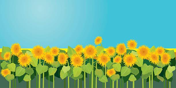 ilustrações de stock, clip art, desenhos animados e ícones de temporada de verão de campo de natureza imagem, sunflowers sob céu azul - lian empty