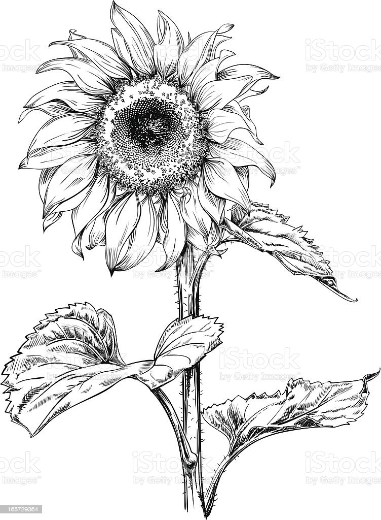Line Drawing Flower Vector : Sunflower drawing stock vector art istock