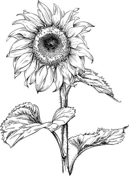 подсолнечник чертеж - sunflower stock illustrations