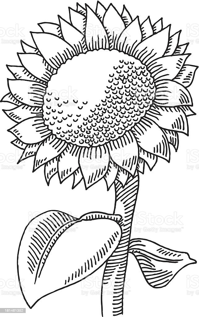 Sunflower Drawing Stock Illustration - Download Image Now ...
