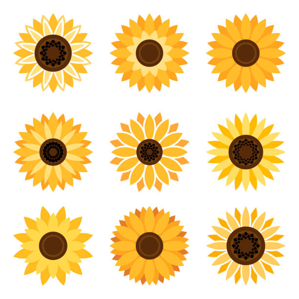 Top Sunflower Clip Art, Vector Graphics and Illustrations ...
