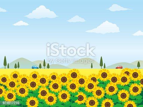 Sunflower field vector illustration.