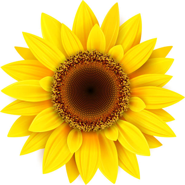 Royalty Free Orange Sunflower Clip Art, Vector Images ...