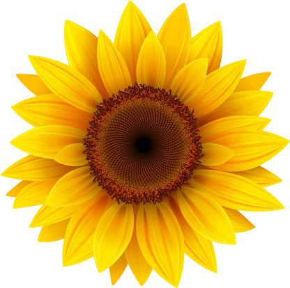 Sunflower flower isolated