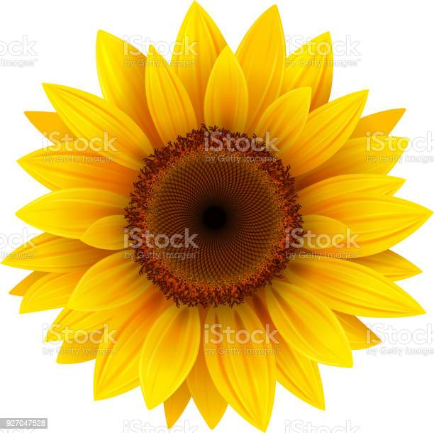 Sunflower flower isolated vector id927047528?b=1&k=6&m=927047528&s=612x612&h=wjrb4wo3o0uqe5oavkwprg3veryfpdc0qcocchl7ili=