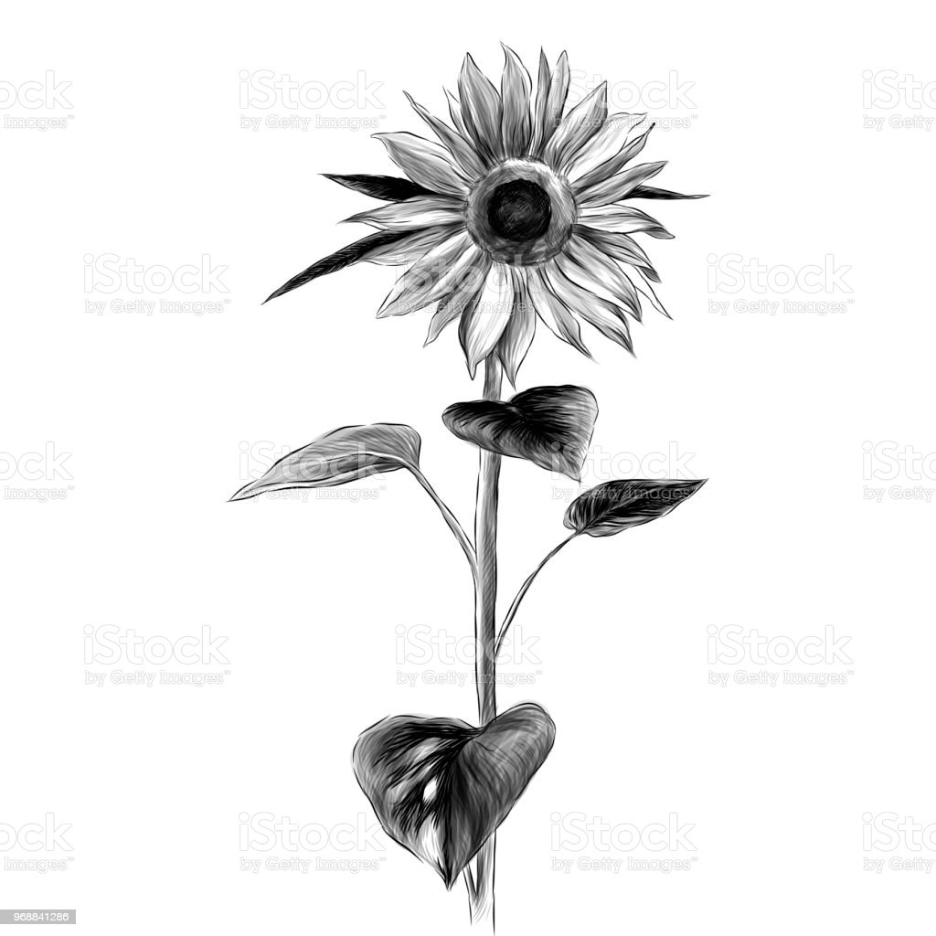 Sunflower Flower With Stem And Leaves On White Background Stock ...