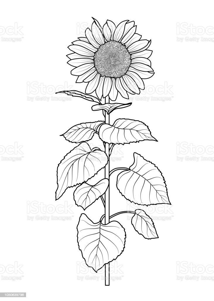 sonnenblumen zum ausmalen  ausmalbilder
