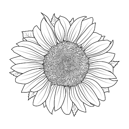 Sunflower for coloring book vector