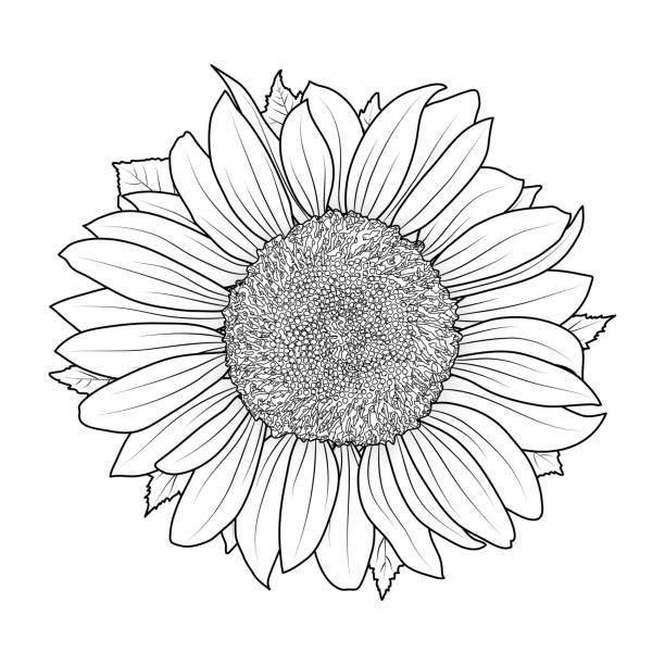 sunflower for coloring book vector - sunflower stock illustrations