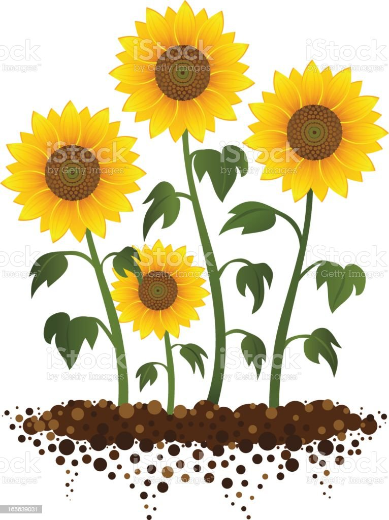Sunflower Garden royalty-free stock vector art