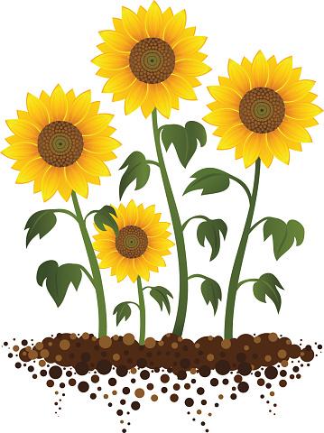 Sunflower Garden Stock Illustration - Download Image Now ...