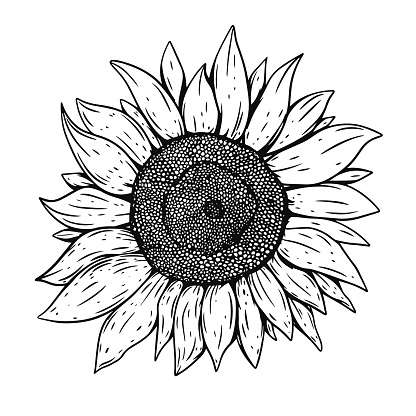 Sunflower hand draw black color vector illustration. Engraving style.