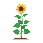 Sunflower icon cartoon. Single plant icon from the big farm,