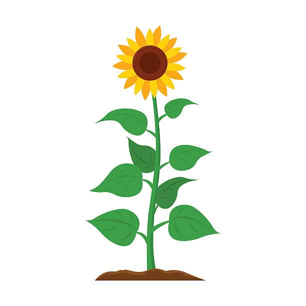 Sunflower icon cartoon. Single plant icon from the big farm, - illustrazione arte vettoriale