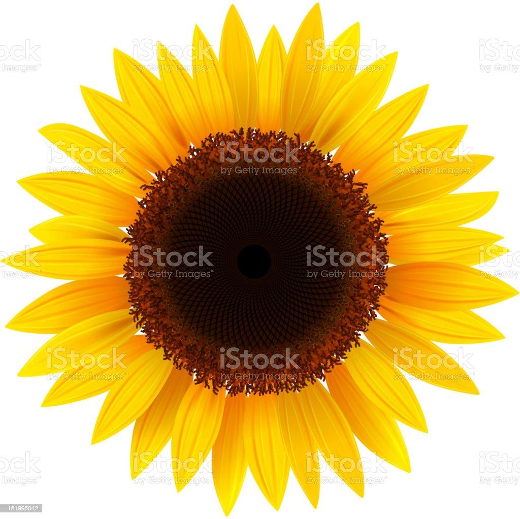 Sunflower illustration in white background royalty-free sunflower illustration in white background stock vector art & more images of botany