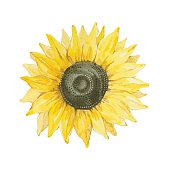 Sunflower isolated on a white background.Vector, watercolor hand drawn  illustration.