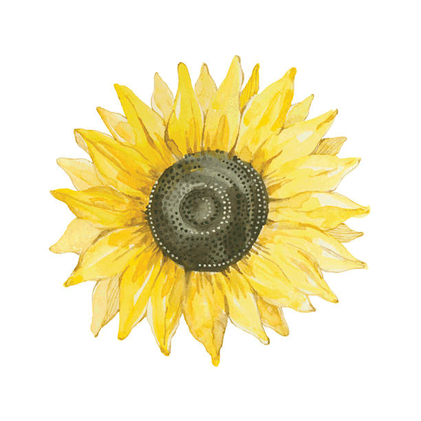sunflower isolated on a white background.vector, watercolor hand drawn  illustration. - sunflower 幅插畫檔、美工圖案、卡通及圖標