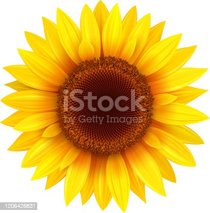istock Sunflower isolated  on white 1206426831