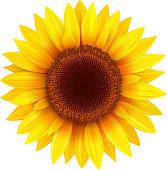 Sunflower isolated, vector flower illustration.