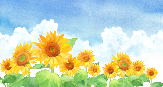 Sunflower landscape in the blue sky and clouds, trace vector of watercolor illustration