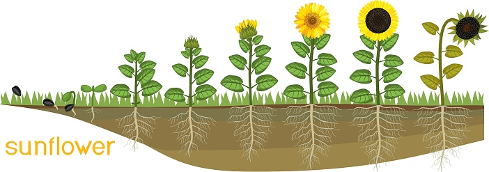 Sunflower life cycle. Consecutive stages of growth from seed to flowering and fruit-bearing plant. Plants showing root structure below ground level on vegetable patch