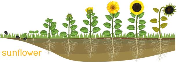 ilustrações de stock, clip art, desenhos animados e ícones de sunflower life cycle. consecutive stages of growth from seed to flowering and fruit-bearing plant. plants showing root structure below ground level on vegetable patch - alter do chão