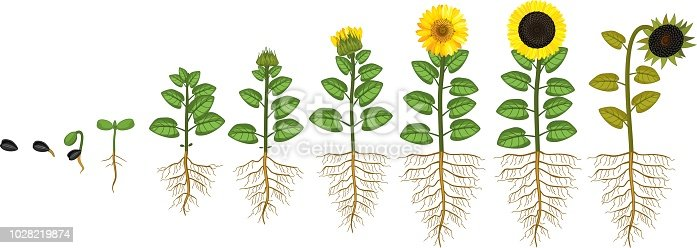 Sunflower Life Cycle Growth Stages From Seed To Flowering ...