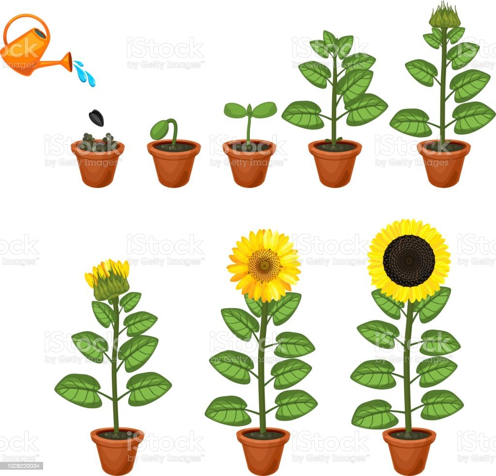 Sunflower life cycle. Growth stages from seed to flowering and  fruit-bearing plant royalty