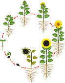 Sunflower life cycle. Growth stages from seed to flowering and fruit-bearing plant with root system