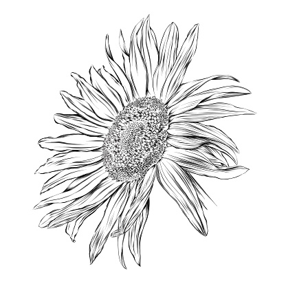 Sunflower Pen and Ink Drawing. Vector EPS10 Illustration