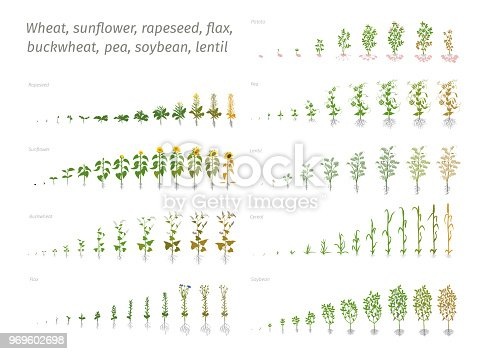 Sunflower rapeseed flax buckwheat pea soybean potato wheat. Vector showing the progression growing plants. Determination of the growth stages biology flat stock clipart
