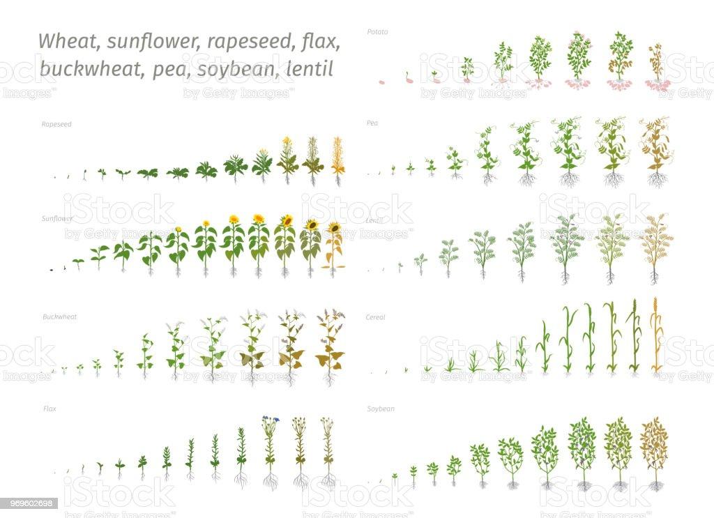 Girasol colza lino trigo arveja soja Papa trigo. Vector que muestra la evolución de las plantas en crecimiento. Determinación de la biología de las etapas de crecimiento - ilustración de arte vectorial