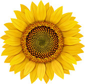 Sunflower realistic isolated vector illustration.