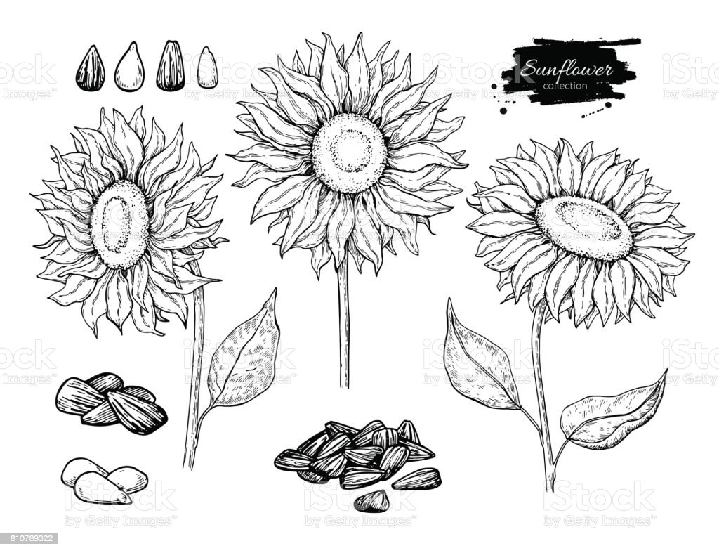 Sunflower Seed And Flower Vector Drawing Set Hand Drawn