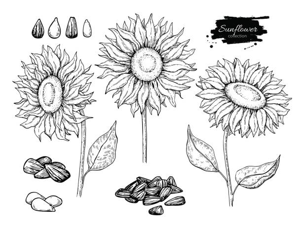 sunflower seed and flower vector drawing set. hand drawn isolated illustration. food ingredient sketch. - sunflower stock illustrations