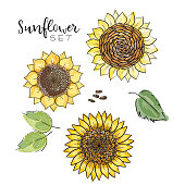 Sunflower seed, flower vector drawing set. Handdrawn isolated illustration. Food ingredient for oil packaging design,label, banner,poster, print, wedding card. Colorful summer sketch, watercolor style.