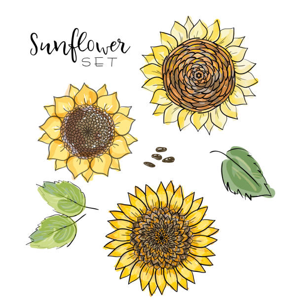 sunflower seed, flower vector drawing set. handdrawn isolated illustration. food ingredient for oil packaging design,label, banner,poster, print, wedding card. colorful summer sketch, watercolor style - sunflower stock illustrations