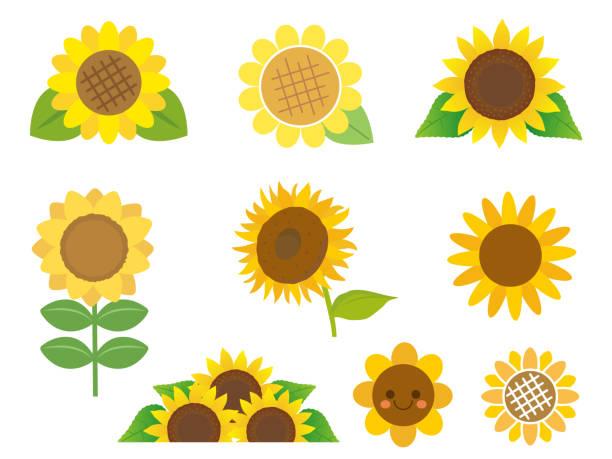 sunflower set1 - sunflower stock illustrations