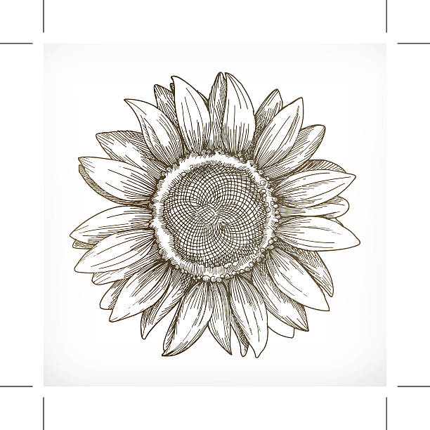 sunflower sketch, hand drawing - sunflower stock illustrations