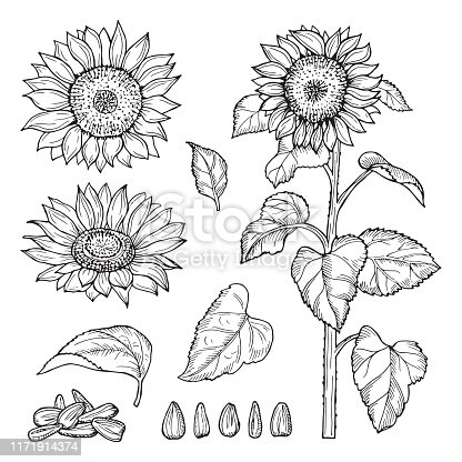 Sunflower sketch. Vector seeds, blooming flowers collection. Illustration sunflower sketch and drawing seeds plant
