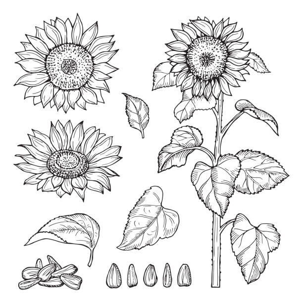 sunflower sketch. vector seeds, blooming flowers collection - sunflower stock illustrations
