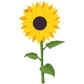 istock Sunflower vector cartoon flat illustration of a garden summer flower on a stem with green leaves isolated on a white background. 1249770762