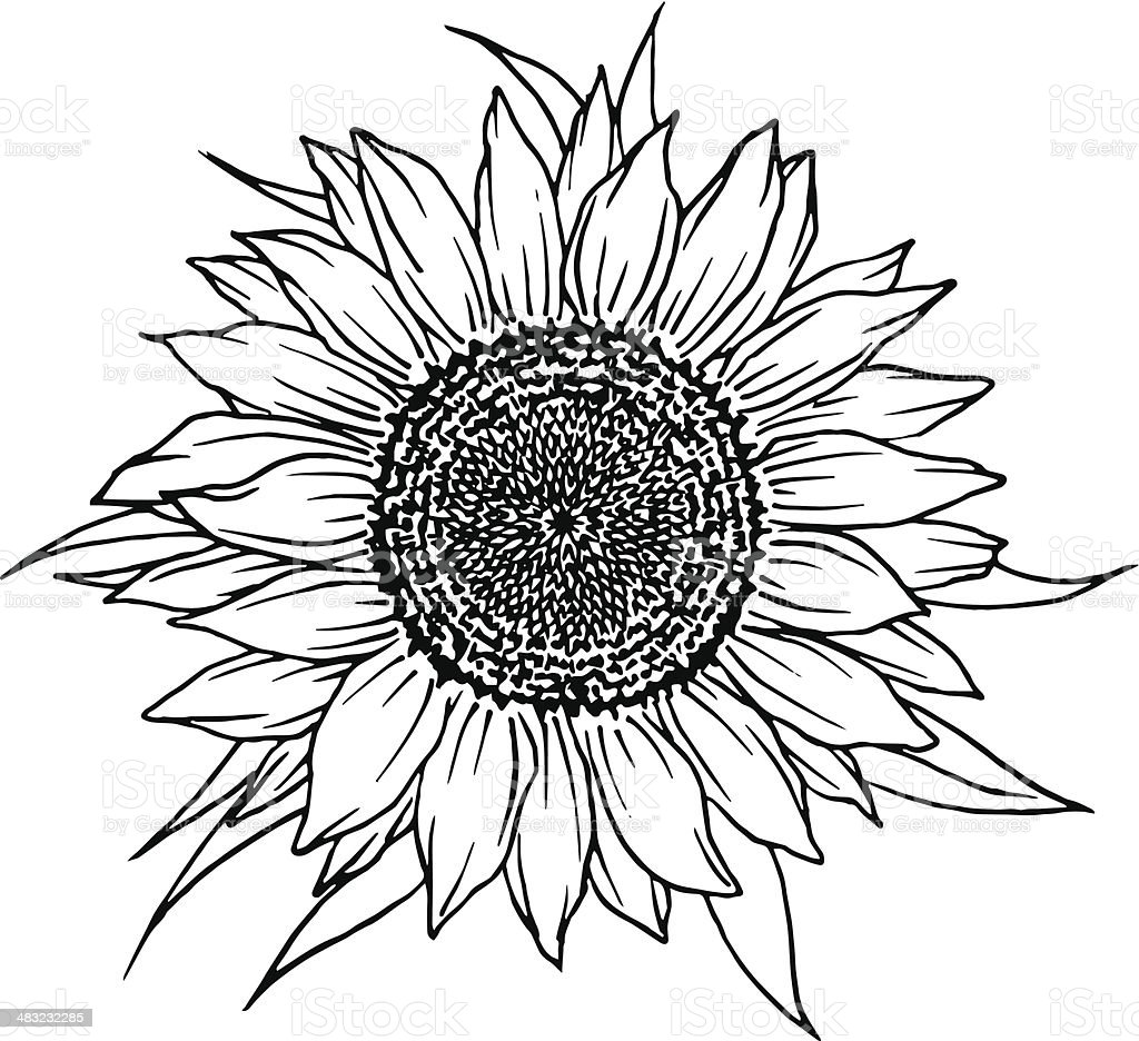 Sunflower Stock Vector Art  for Clipart Sunflower Black And White  45ifm