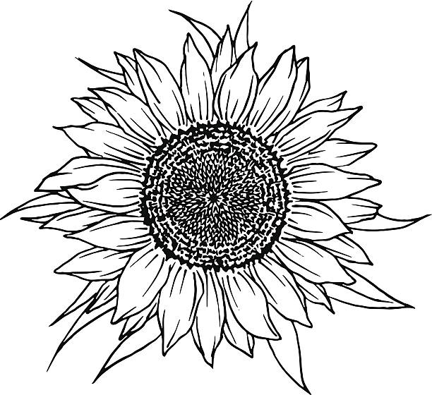 Sunflower Vector Art Illustration