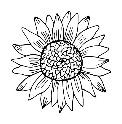 Sunflower vector illustration. Hand drawing black and white floral doodles. Modern botanical art for cards, invitations and product design.