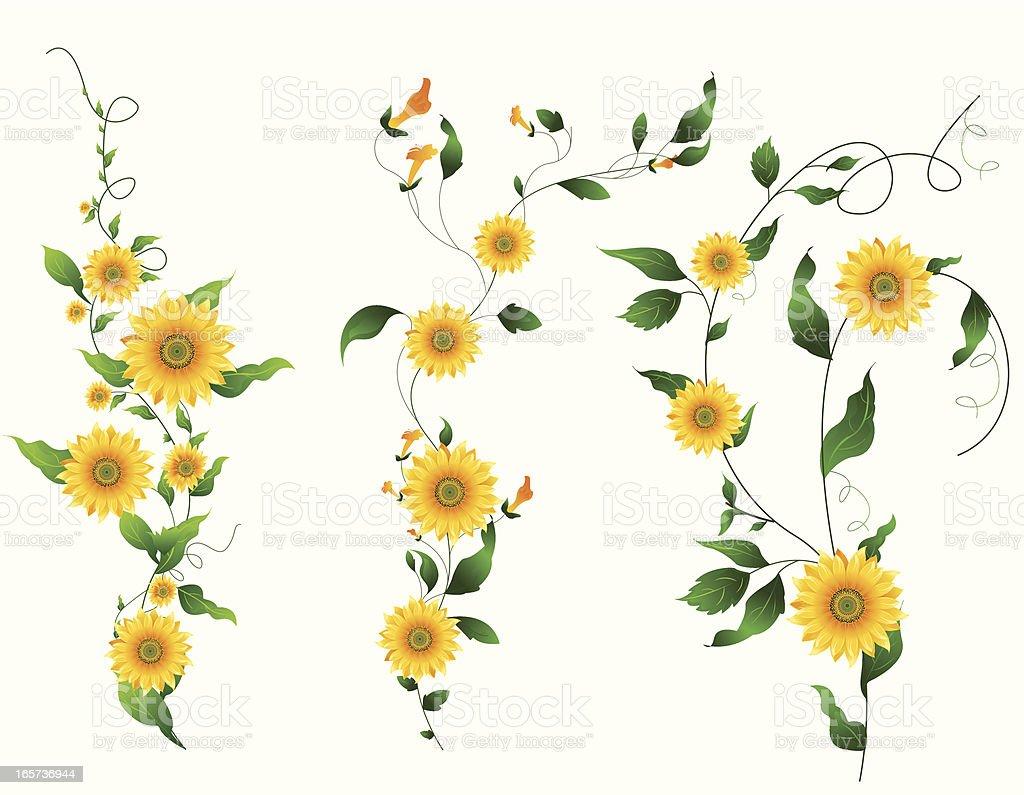 Sunflower Vine.. royalty-free stock vector art