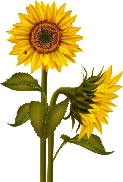 sunflowers and ladybirds - sunflower stock illustrations