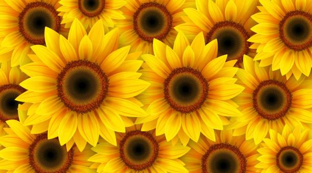sunflowers flower background - sunflower stock illustrations